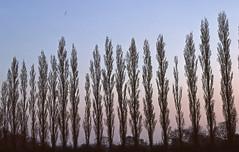 img640 (V8 Badger) Tags: canon a1 slide film kodak ektachrome 1980 lombardy poplar glider twilight dusk sunset woodford cheshire