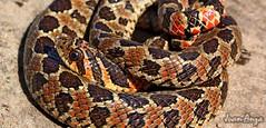 South American Hognose Snake (Juan Anza) Tags: snake wildlifepics wildlifephotographer wildlife animal animalpics animalphotography naturewatcher naturepics naturelover natureza reptile herpeto herpetology nature image