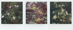 Hedgerow Triptych (Skink74) Tags: colorsx70 film impossibleproject instant polaroid polaroidlandcamera sx70 sx70alpha1se roidweek polaroidweek2018 triptych hedgerow flowers spring moss trunk green hursley hampshire england uk