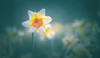 Daffodils (Dhina A) Tags: sony a7rii ilce7rm2 a7r2 leitz colorplan 90mm f25 leitzcolorplan90mmf25 silver projector projection lens bokeh daffodils flower spring