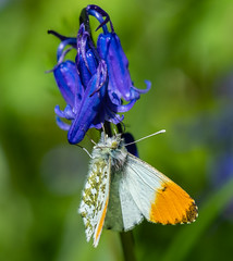 orange-tip butterfly 157a_46 (Baffledmostly) Tags: croomepark insects nationaltrust bluebell flowersgrassesandmosses gender male orangetip