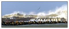 Vol au dessus des vagues -  Flight over the waves (diaph76) Tags: extérieur france lehavre normandie seinemaritime paysage landscape oiseau bird vague waves seawater eaudemer sea mer
