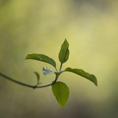 Carré de feuilles ** (Titole) Tags: leaves green titole shallowdof bokeh squareformat