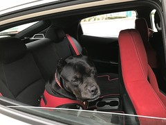 Bonnie in the car (C-Monster) Tags: bonnie dog perro chien pitbull amstaff staffy car