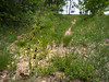 Ophrys insectifera (f.mangili) Tags: ophrys insectifera gandosso dorsale pitone san giovanni delle formiche bergamo