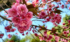 Cherry Blossom (SurFeRGiRL30) Tags: cherryblossom pinkcherryblossom japanesecherryblossom pink beautiful spring flowers