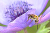 Levitating bee ;-) (Tam & Sam) Tags: macro nikon spring may 2018 freginals catalonia insect bytam flower anemone bee purple crabspider sting longhornbee