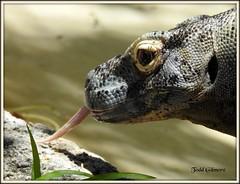 Komodo Dragon (todd5524) Tags: komodo dragon lizard reptiles zoo amazing nature wild life photography photoshop awesome outdoors