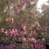 Sudden Azaleas (macromary) Tags: filmcamera vintage vintagecamera vintagelens oldglass manual mechanicalcamera analog availablelight analogphoto 120film 120 mediumformat hassy hasselblad hasselblad500cm carlzeissplanar80mmf28ct planar 80mm portra portra160 color colour colourfilm florida oldflorida zeiss zeisslens spring flowers azalea bush azaleas pinkazalea pinkazaleas springtime coleman sumtercounty bokeh dof depthoffield shrub floweringshrub pinkflowers