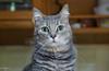 Face to face (Stei&Helvi) Tags: cat chat animal de compagnie sony alpha félin feline wildlife faune macro eyes