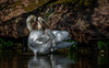 Courting Couple caught on camera (neil 36) Tags: swans dappled shade courting couple camera light
