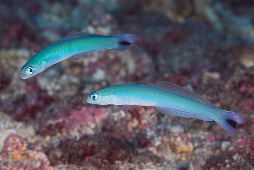 Spottail Dartfish, pair - Ptereleotris heteroptera