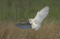 Barn Owl (J J McHale) Tags: barnowl tytoalba bird nature wildlife vogel birdwatcher wing flight owl