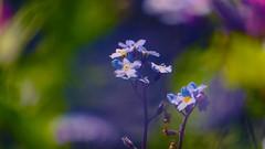 Flowers - 5137 (YᗩSᗰIᘉᗴ HᗴᘉS +15 000 000 thx) Tags: flowers hensyasmine namur belgium europa aaa namuroise look photo friends be wow yasminehens interest intersting eu fr greatphotographers lanamuroise tellmeastory flickering nature bokeh