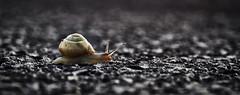 the fast and the furious (Froschkönig Photos) Tags: fast furious thefastandthefurious schnecke snail snegle meyeroptikgörlitz trioplan nex5r bokeh