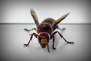 Hornet in the house!