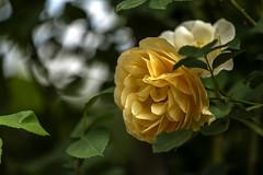 Spring rose (Masa Angenieux) Tags: leica sl typ601 apovarioelmaritsl 90–280 mm f28–4