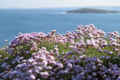 Pink Sea Thrift. (Working hard for high quality.) Tags: pnik sea thrift newquay cornwall water ocean headland plant organic life breeze weather
