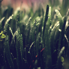 20 / 52 : 3 (Randomographer) Tags: 52weeks prime photography square 365 grass green lawn soft blades natural organic graminoids monocotyledonous herbaceous plant narrow leaves growing turf lifeform lush outdoor landscape field spring wet rain moisture droplets water 20 52 2018 50mm