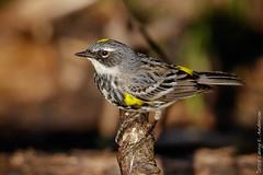 Yellow-rumpled Warbler (Larry E. Anderson) Tags: minnesota setophagacoronata sherburnentlwildliferefuge yellowrumpedwarbler bird passeriformes passerines seasons songbirds spring