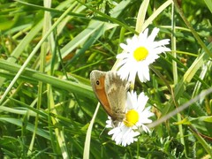 Heathcliff (martindove) Tags: small heath butterfly nature wildlife outdoors lepidoptera heathcliff may spring springwatch imago insect