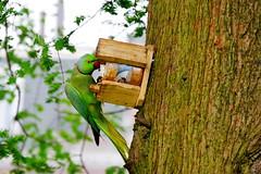 Rose-ringed parakeet (jamescastle) Tags: psittaciformes avian bird chordate parrot wildlife eurbanwildlife amsterdam netherlands psittacidae psittacula urbanwildlife animal noordholland