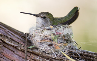 Costa's on the nest