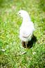 Baby Chickens-35 (sammycj2a) Tags: chick chickens backyardfarm farm chicks pullets straightrun backyard nikon nikkor lightroom