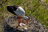 White Stork (My Planet Experience) Tags: ciconiaciconia ciconia stork whitestork cicognabianca bird nest nesting egg tree nature natural animal wild wildlife wilderness nopeople day color outdoors dombes france f myplanetexperience wwwmyplanetexperiencecom