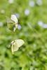 Citrons (Gonepteryx rhamni) (aurelien.ebel) Tags: alsace animal basrhin citron coliadinae france gonepteryxrhamnilinnaeus 1758 insecte lawantzenau papillondejour pieridae rhopalocères