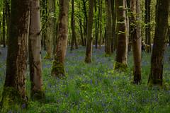 IMG_7725.jpg (ChodHound) Tags: ashridgeestate bluebells