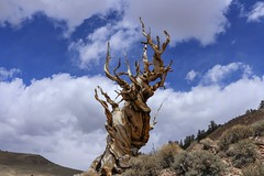 A Cloudy Day at Bristlecone Pines (RS2Photography) Tags: vaatu treeoftime corpsetree ihateflickrfriday oldest deadtree twistytree twisty 10000feet twistedtree gnarlytree stone ross rossstone spring2018 spring ancientbristleconepines ancientbristleconepine cloudy bristleconepine bristleconepines bristlecone acloudydaybristleconepines nature ancient tree trees new gnarled gnarly twisted sky