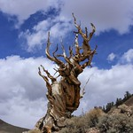 A Cloudy Day at Bristlecone Pines thumbnail