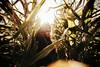 summer sister ([ I w a n ]) Tags: girl cornfield summer sonya7ii sun sunshine sunflare wierden twente overijsel