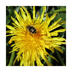 Happy Hover Butt Day (JulieK (thanks for 6 million views)) Tags: hoverfly hbbbt dandelion wildflower ireland irish fauna flora squareformat 2018onephotoeachday insect invertebrate garden wexford beautifulnature yellow