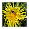 Happy Hover Butt Day (JulieK (thanks for 7 million views)) Tags: hoverfly hbbbt dandelion wildflower ireland irish fauna flora squareformat 2018onephotoeachday insect invertebrate garden wexford beautifulnature yellow