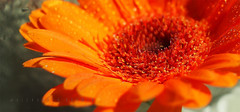 Orange Gerbera by Helios P4280880 (aoma2009) Tags: helioslens helios442 helios44258mmf2 m42 vintagelens microfourthirdssystem olympusomdem10 olympusem10 omd mftcameras m43 plant resized allrightsreserved picturesque nature macro flora flower light colours bokeh beauty best exploration wonderful fantastic awesome stunning beautiful breathtaking incredible lovely nice perfect photography photo image shot foto shadows outdoor blossom organic pattern bright depthoffield background indoors studio photoshop drops droplets