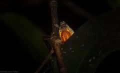 orange badge huntsman (dustaway) Tags: arthropoda arachnida araneae araneomorphae sparassidae neosparassus huntsman badgehuntsman orangebadgehuntsman australianspiders tamborinemountain mounttamborine sequeensland queensland australia