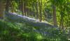 Off the beaten track (Ian Emerson) Tags: woodland bluebells trees purple flowers nature light sunlight shades green foliage secret unknownlocation derbyshire