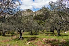 Sierra Blanca de Ojen (Keith in Exeter) Tags: sierra blanca white range limestone mountain ojen spain olive tree grass landscape