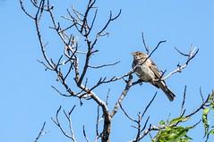 Au pays d'Aragon (PierreG_09) Tags: aragon espagne spain españa monegros huesca faune oiseau bruantproyer emberizacalandra cornbunting