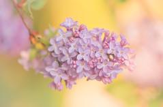 Lilac II (paulapics2) Tags: lilac plant spring nature flora syringa macro canoneos5dmarkiii sigma105mmf28exdgoshsmmacro garden blossom may 7dwf
