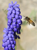 The bee and the grape hyacinth (H L Photography Sweden) Tags: bee incect macro flying flower spring plant outdoor grapehyacinth blooming closeup bokeh
