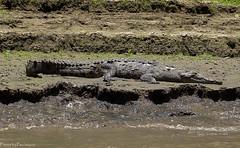 Afternoon nap / Послеобеденный сон (Vladimir Zhdanov) Tags: travel mexico chiapas crocodile reptiles animals river sumiderocanyon water