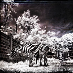 zebras on the edge (greg westfall.) Tags: gregwestfall zebra horse stripes infrared texture kenya kisumu ir 720nm
