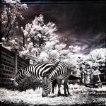 zebras on the edge thumbnail