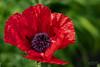 Mohnblume geöffnet/ Poppy open (rockheadz) Tags: mohnblume pobby grün green garten garden