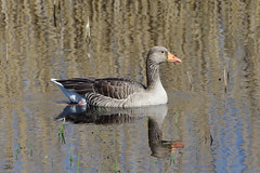 IMGP4981c Greylag, Woodwalton Fen, May 2018 (bobchappell55) Tags: woodwaltonfen cambridgeshire anseranser greylag goose water bird wild wildlife nature