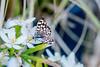 Le visiteur. (musette thierry) Tags: vert papillon insecte d800 nikon musette thierry animalier animal animaux macro tamron 90mm28