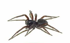Black-laced Weaver Spider (Amaurobius ferox) (Nick Dobbs) Tags: blacklaced weaver spider amaurobius ferox insect invertebrate arachnid dorset